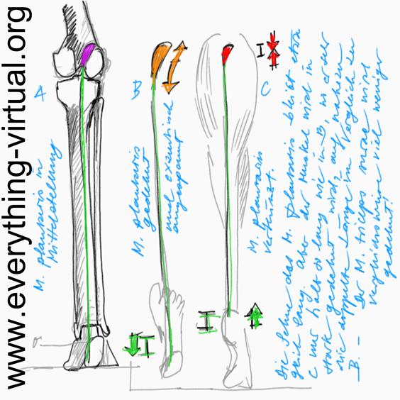 Strasmann´s Anatomie, Physiologie und Pathologie